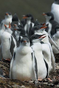 Gentoo Penguin (Pygoscelis papua) chicks in creche, South Georgia  -  Hiroya Minakuchi