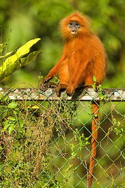Red Leaf Monkey (Presbytis rubicunda) on fence, Tawau Hills Park, Sabah, Borneo, Malaysia  -  Sebastian Kennerknecht