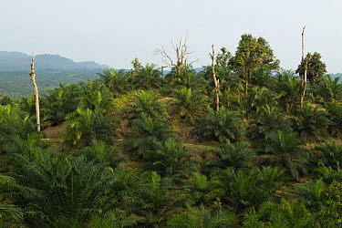 African Oil Palm (Elaeis guineensis) plantation with a few native Meranti (Dipterocarpaceae) tree stumps remaining, Tawau Hills Park, Sabah, Borneo, Malaysia  -  Sebastian Kennerknecht