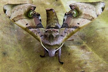 Hawk Moth (Daphnusa ocellaris), Tawau Hills Park, Sabah, Borneo, Malaysia  -  Sebastian Kennerknecht