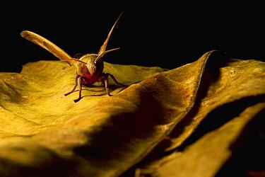 Hawk Moth (Daphnusa ocellaris) flapping wings, Tawau Hills Park, Sabah, Borneo, Malaysia  -  Sebastian Kennerknecht
