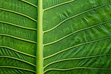 Elephant Ear Taro (Alocasia macrorrhizos) leaf ribs, Tawau Hills Park, Sabah, Borneo, Malaysia  -  Sebastian Kennerknecht