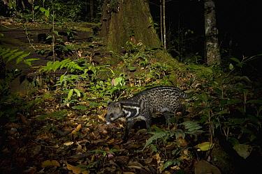 Malayan Civet (Viverra tangalunga) in lowland rainforest at night, Tawau Hills Park, Sabah, Borneo, Malaysia  -  Sebastian Kennerknecht