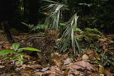Marbled Cat (Pardofelis marmorata) in lowland rainforest, Tawau Hills Park, Sabah, Borneo, Malaysia  -  Sebastian Kennerknecht