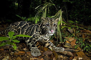 Sunda Clouded Leopard (Neofelis diardi) male with cataract in his right eye in lowland rainforest, Tawau Hills Park, Sabah, Borneo, Malaysia  -  Sebastian Kennerknecht