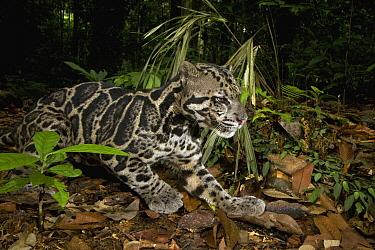 Sunda Clouded Leopard (Neofelis diardi) male in lowland rainforest, Tawau Hills Park, Sabah, Borneo, Malaysia  -  Sebastian Kennerknecht