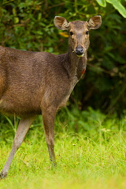 Sambar (Cervus unicolor) lactating female, apparent by red glandular spot on neck, Danum Valley Conservation Area, Sabah, Borneo, Malaysia  -  Sebastian Kennerknecht