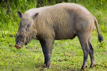 Bearded Pig (Sus barbatus) sub-adult male, Danum Valley Conservation Area, Sabah, Borneo, Malaysia  -  Sebastian Kennerknecht