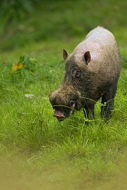 Bearded Pig (Sus barbatus) male, Danum Valley Conservation Area, Sabah, Borneo, Malaysia  -  Sebastian Kennerknecht
