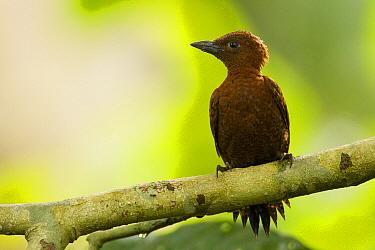 Rufous Woodpecker (Celeus brachyurus) female, Sepilok Forest Reserve, Sabah, Borneo, Malaysia  -  Sebastian Kennerknecht