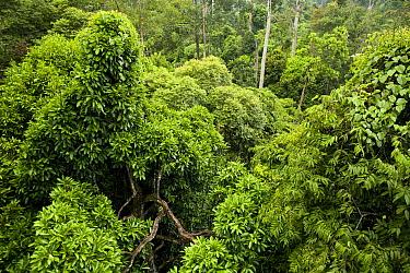 Lowland rainforest canopy, Danum Valley Conservation Area, Sabah, Borneo, Malaysia  -  Sebastian Kennerknecht