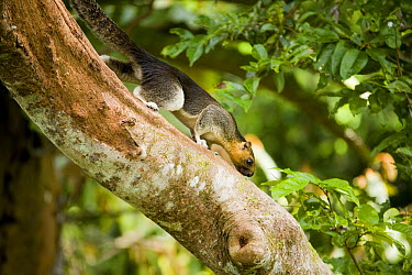 Cream-colored Giant Squirrel (Ratufa affinis) male climbing down tree trunk, Sepilok Forest Reserve, Sabah, Borneo, Malaysia  -  Sebastian Kennerknecht