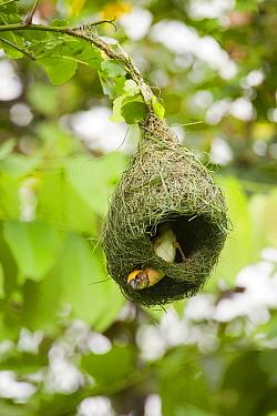 Baya Weaver (Ploceus philippinus) male weaving nest, Sepilok, Sabah, Borneo, Malaysia  -  Sebastian Kennerknecht