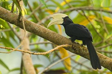 Black Hornbill (Anthracoceros malayanus) male, Sepilok, Sabah, Borneo, Malaysia  -  Sebastian Kennerknecht