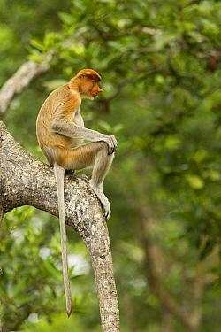 Proboscis Monkey (Nasalis larvatus) female in tree, Sabah, Borneo, Malaysia  -  Sebastian Kennerknecht