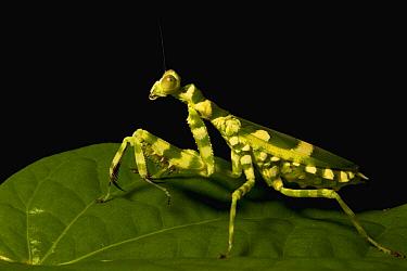 Banded Flower Mantis (Theopropus elegans) female, Sabah, Borneo, Malaysia  -  Sebastian Kennerknecht