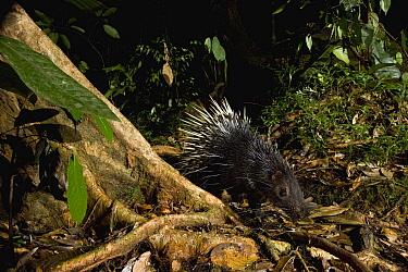 Malayan Porcupine (Hystrix brachyura) in lowland rainforest at night, Tawau Hills Park, Sabah, Borneo, Malaysia  -  Sebastian Kennerknecht