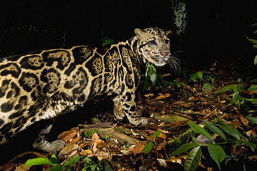 Sunda Clouded Leopard (Neofelis diardi) male in lowland rainforest at night, Tawau Hills Park, Sabah, Borneo, Malaysia  -  Sebastian Kennerknecht