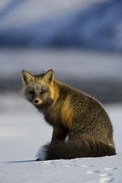 Red Fox (Vulpes vulpes) cross fox, Alaska  -  Michael Quinton