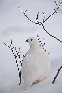 White-tailed Ptarmigan (Lagopus leucura) camouflaged in snow, Alaska  -  Michael Quinton