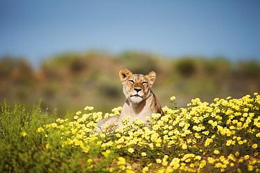 African Lion (Panthera leo) female lying in Yellow Vine (Tribulus terrestris) flowers, Kgalagadi Transfrontier Park, South Africa