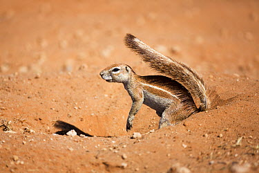 Cape Ground Squirrel (Xerus inauris) using tail for shade, Cape Province, South Africa  -  Richard Du Toit