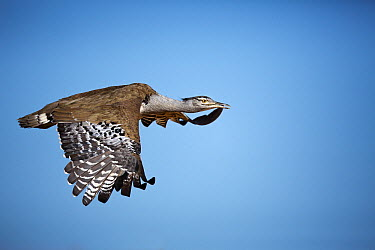 Kori Bustard (Ardeotis kori) flying, Cape Province, South Africa  -  Richard Du Toit