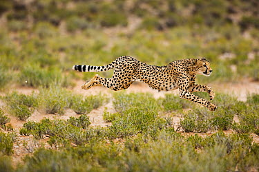 Cheetah (Acinonyx jubatus) running, Kgalagadi Transfrontier Park, South Africa  -  Richard Du Toit