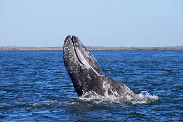 Gray Whale (Eschrichtius robustus) spyhopping, Magdalena Bay, Baja California, Mexico  -  Flip  Nicklin