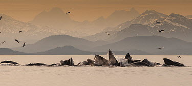 Humpback Whale (Megaptera novaeangliae) group gulp feeding, Auke Bay, Juneau, Alaska  -  Flip  Nicklin