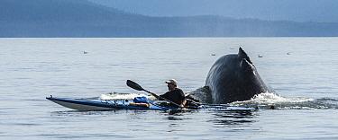 Humpback Whale (Megaptera novaeangliae) surfacing near kayacker, Freshwater Bay, southeast Alaska  -  Flip  Nicklin