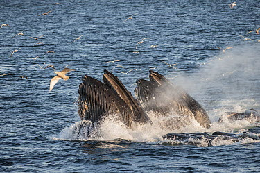 Humpback Whale (Megaptera novaeangliae) pair gulp feeding with scavenging gulls flying above, southeast Alaska  -  Flip  Nicklin