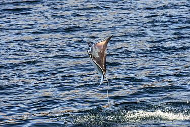 Munk's Devil Ray (Mobula munkiana) leaping out of the water, Isla Espiritu Santo, Baja California, Mexico  -  Flip  Nicklin