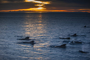 Short-finned Pilot Whale (Globicephala macrorhynchus) pod surfacing, Baja California, Mexico  -  Flip  Nicklin