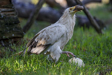 Egyptian Vulture (Neophron percnopterus) breaking Ostrich (Struthio camelus) egg with rock, native to Africa  -  ZSSD