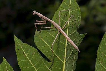 Stick Insect (Phasmatidae), Saint Bees Island, Australia  -  ZSSD