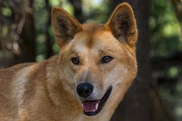 Dingo (Canis lupus dingo), Lone Pine Koala Sanctuary, Brisbane, Australia  -  ZSSD