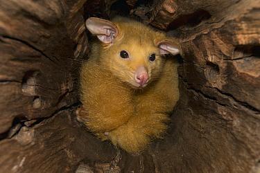 Common Brush-tailed Possum (Trichosurus vulpecula), Lone Pine Koala Sanctuary, Brisbane, Australia  -  ZSSD