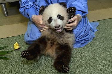 Giant Panda (Ailuropoda melanoleuca) cub getting medical exam, native to China  -  ZSSD