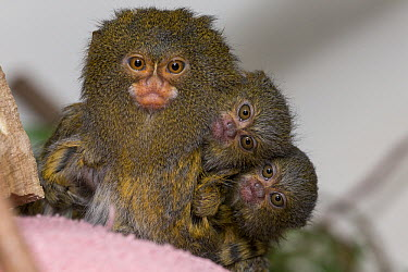 Pygmy Marmoset (Cebuella pygmaea) mother with babies, native to South America  -  ZSSD