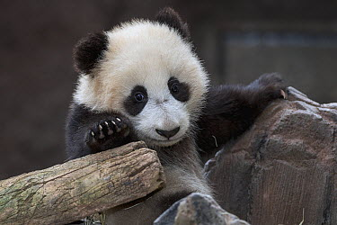 Giant Panda (Ailuropoda melanoleuca) cub, native to China  -  ZSSD
