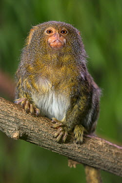 Pygmy Marmoset (Cebuella pygmaea), native to South America  -  ZSSD