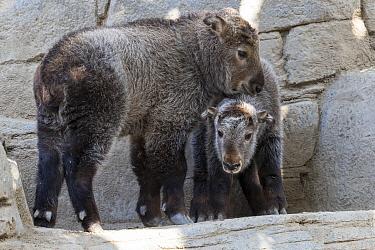 Takin (Budorcas taxicolor) calves, native to China  -  ZSSD