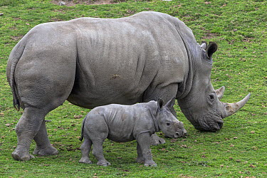 White Rhinoceros (Ceratotherium simum) mother grazing with calf, native to Africa  -  ZSSD
