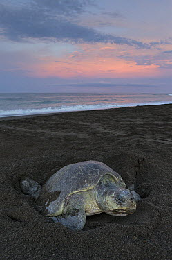 Olive Ridley Sea Turtle (Lepidochelys olivacea) female digging nest in beach sand to lay her eggs, Ostional Beach, Costa Rica  -  Ingo Arndt