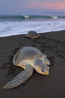 Olive Ridley Sea Turtle (Lepidochelys olivacea) females coming ashore and returning to the sea during mass nesting event called an arribada, Ostional Beach, Costa Rica  -  Ingo Arndt