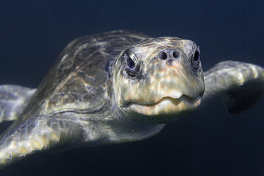 Olive Ridley Sea Turtle (Lepidochelys olivacea) swimming in open ocean not far from nesting beach, Ostional Beach, Costa Rica  -  Ingo Arndt