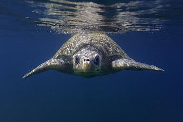Olive Ridley Sea Turtle (Lepidochelys olivacea) swimming in open ocean near nesting beach, Ostional Beach, Costa Rica  -  Ingo Arndt
