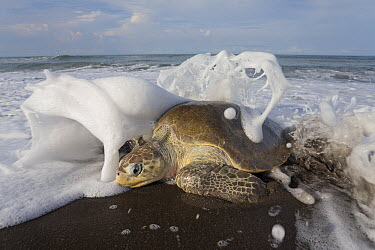 Olive Ridley Sea Turtle (Lepidochelys olivacea) female coming ashore to lay eggs, Ostional Beach, Costa Rica  -  Ingo Arndt