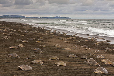 Olive Ridley Sea Turtle (Lepidochelys olivacea) females coming ashore to lay eggs during an arribada nesting event, Ostional Beach, Costa Rica  -  Ingo Arndt